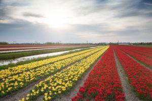 Foto van tulpenvelden in bloei