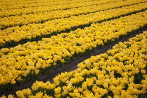 Gele tulpenvelden in Noordwijkerhout